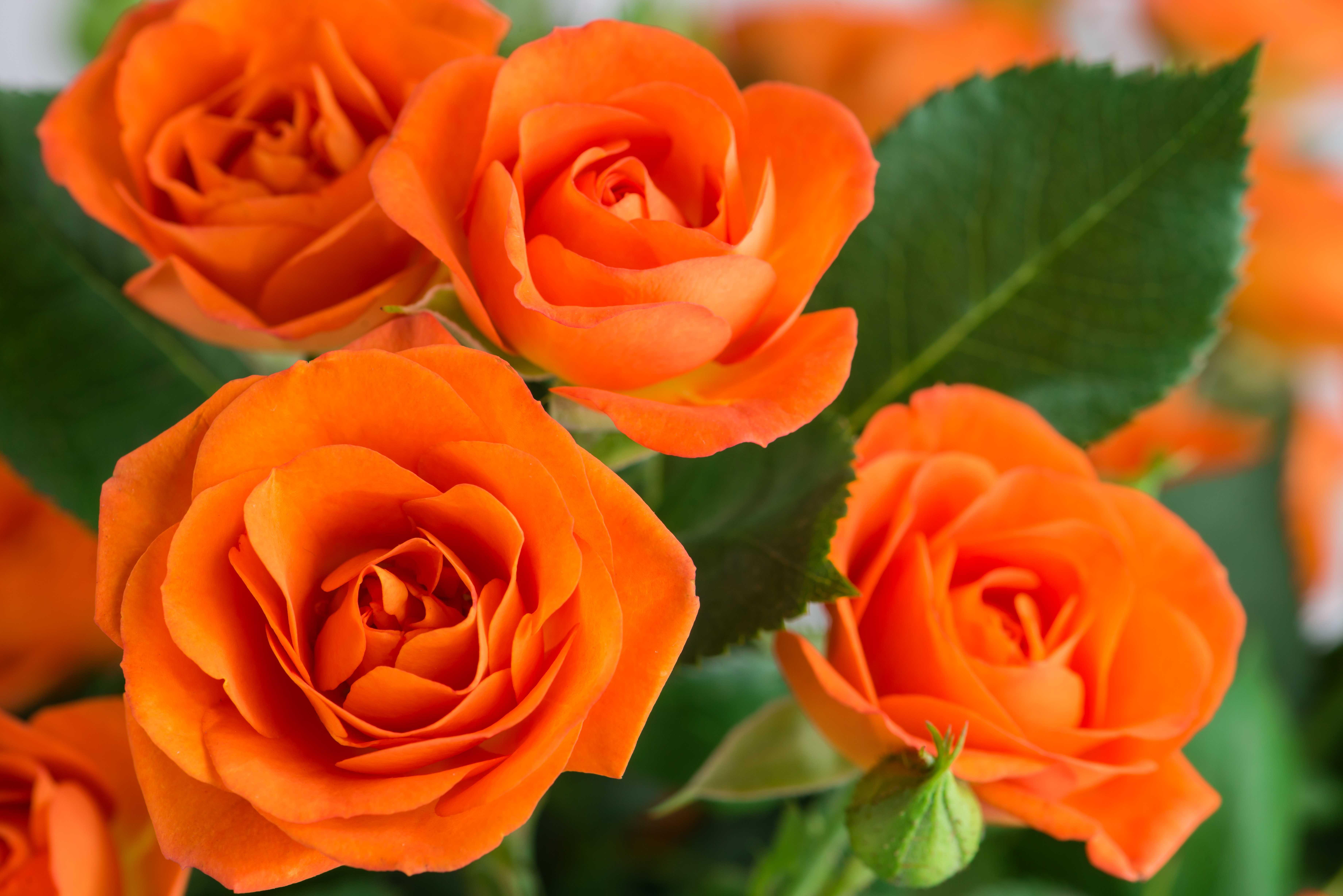 оранжевая роза фото и открытки артистов этом сериале