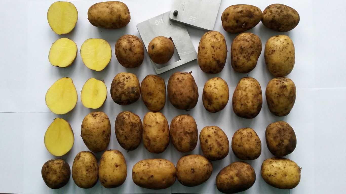 каждое семейное картофель крона описание сорта фото отзывы года год