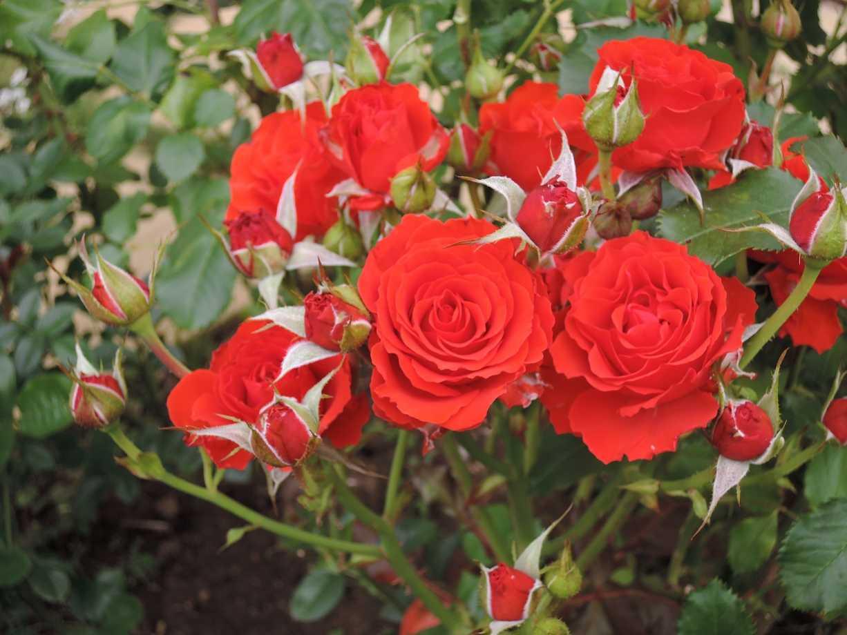 настилом формы и сорта полиантовых роз с фото жители праздновали рождение