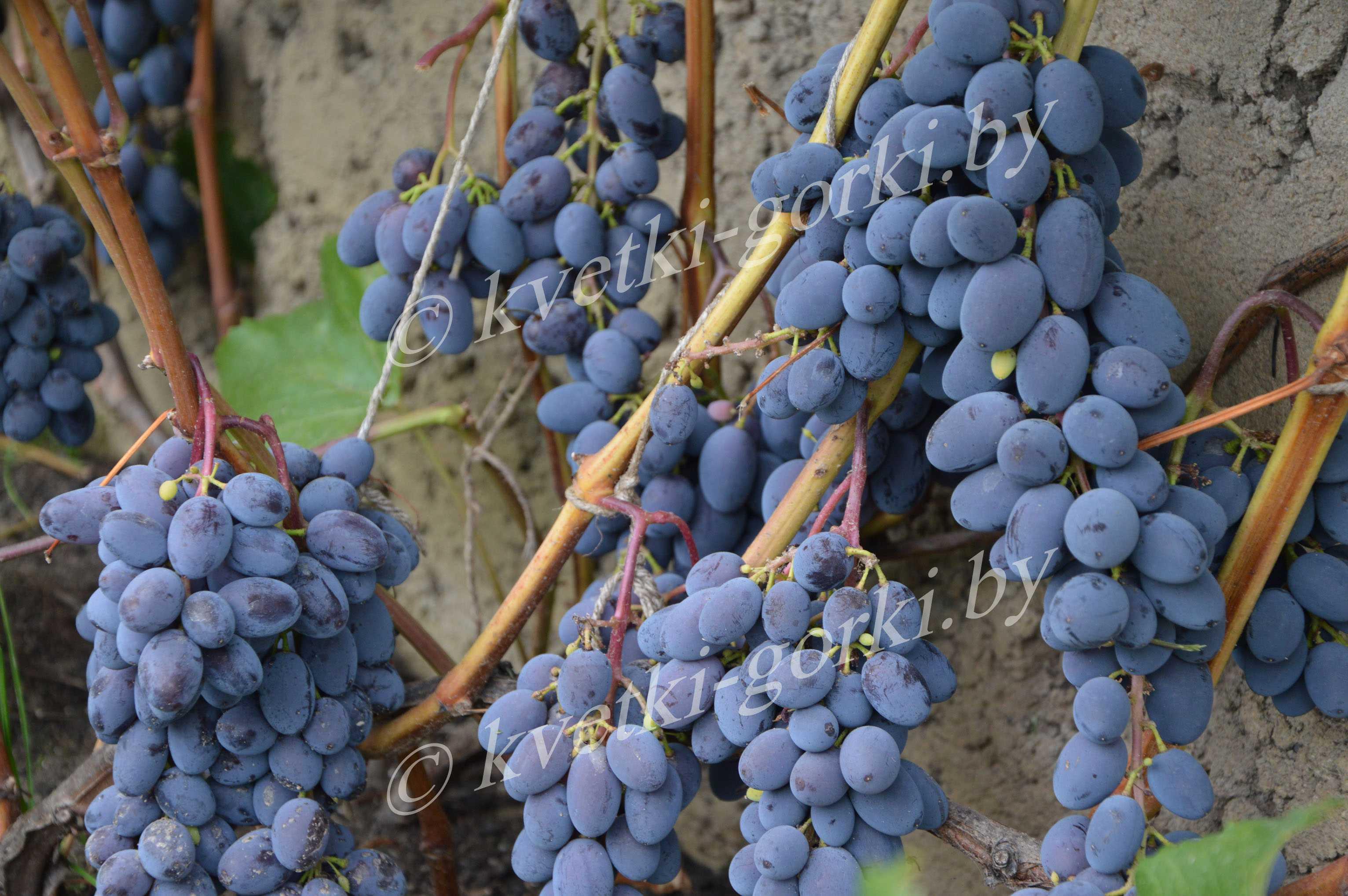 Виноград юпитер описание сорта фото отзывы