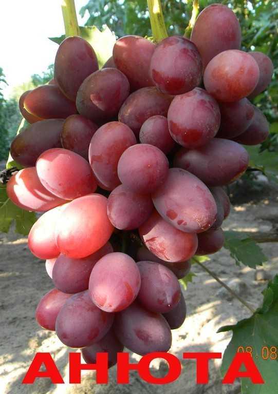 Сорт винограда анюта фото и описание отзывы