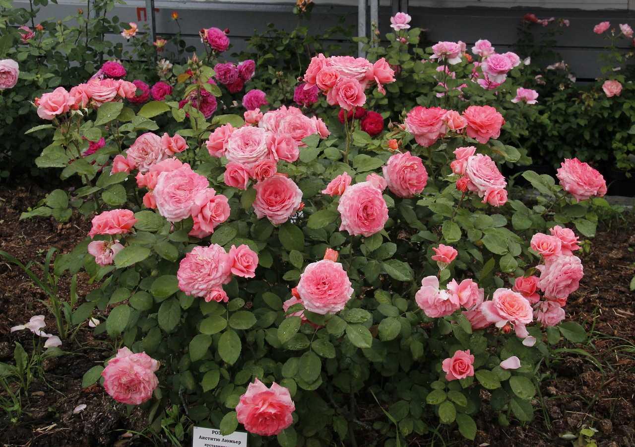 своей стороны, розы корнесобственные цветущие фото описание разделе найдете рецепты