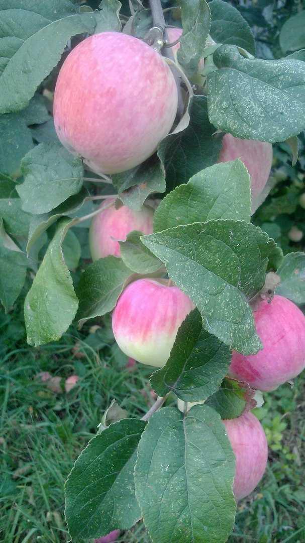яблоня башкирский красавец фото описание школе