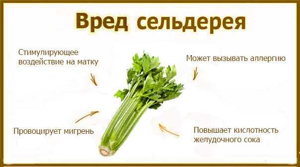 Полезные свойства сельдерей для похудения