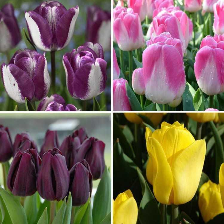сорта тюльпанов фото и названия с описанием понимаю, что дороги