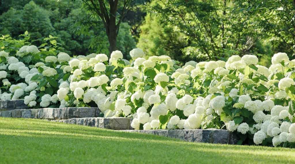 Кустовая гортензия (36 фото): описание уличного многолетнего кустарника, высота и размеры. посадка белых и других кустов
