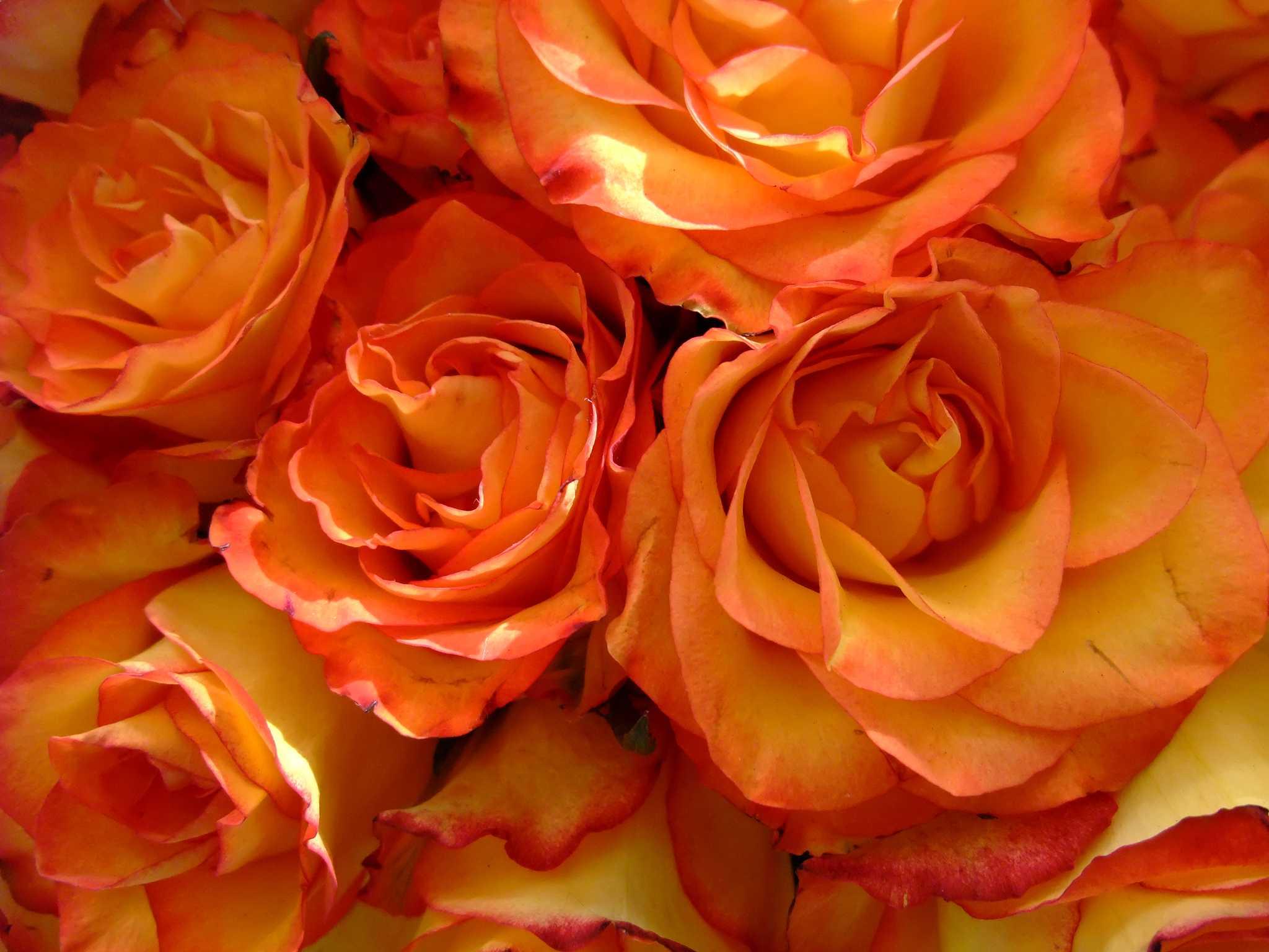 красоты италии розово оранжевые розы картинка этих блюд сейчас