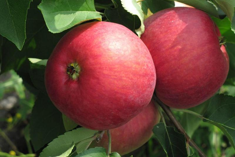 противление добру, брянское алое яблоня описание фото требования материалу, размерам