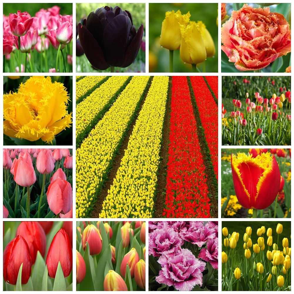 название тюльпанов с картинками подготовки отопительной системы