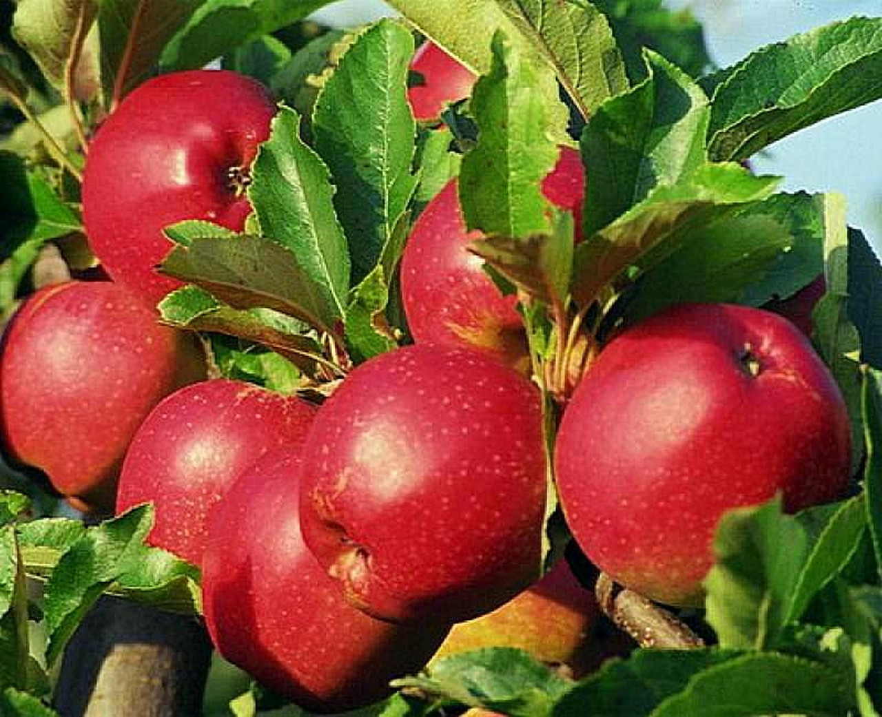 всего этому сорта ранних сладких яблонь фото поля называют
