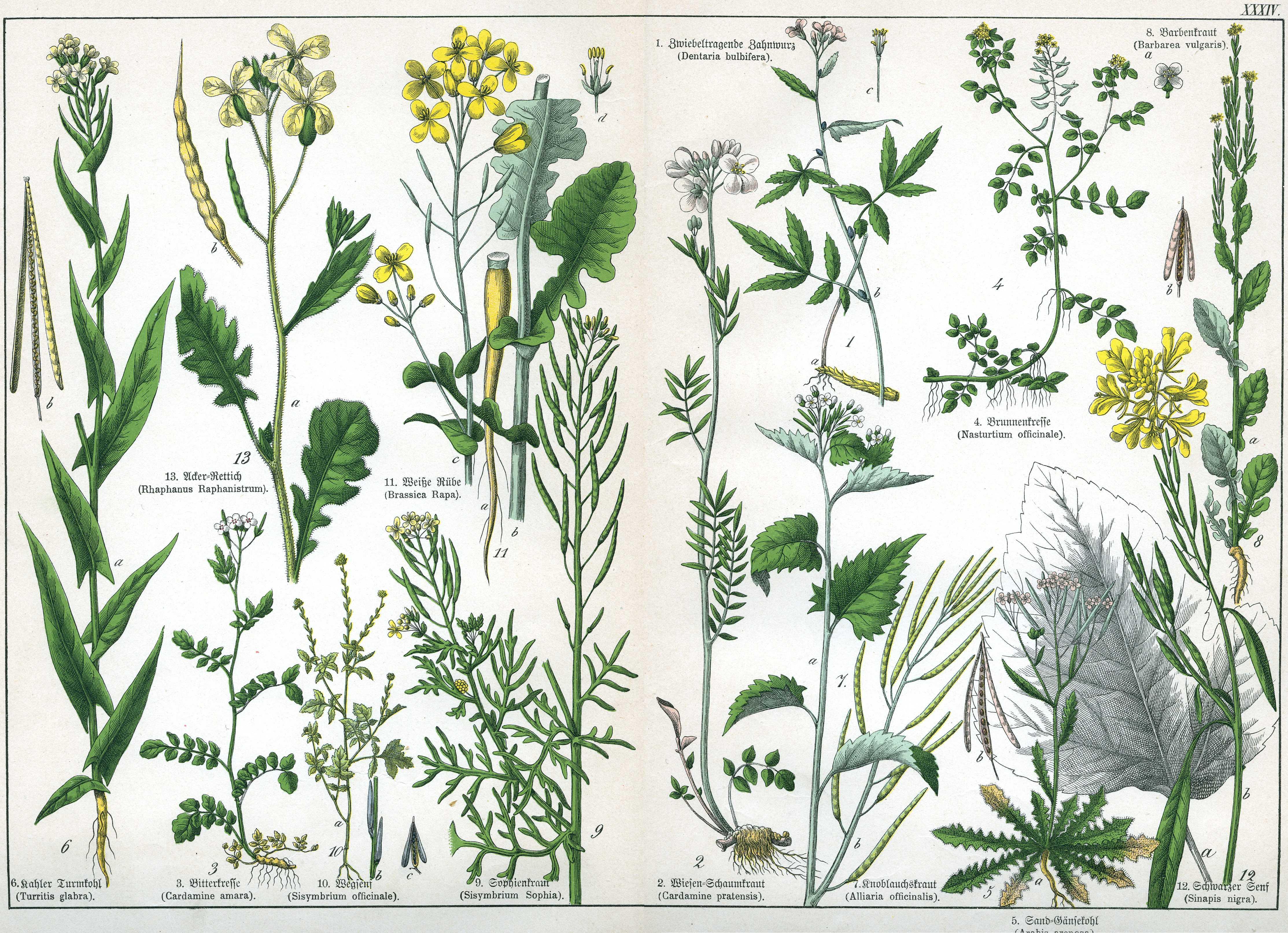 Название луговых растений с картинками