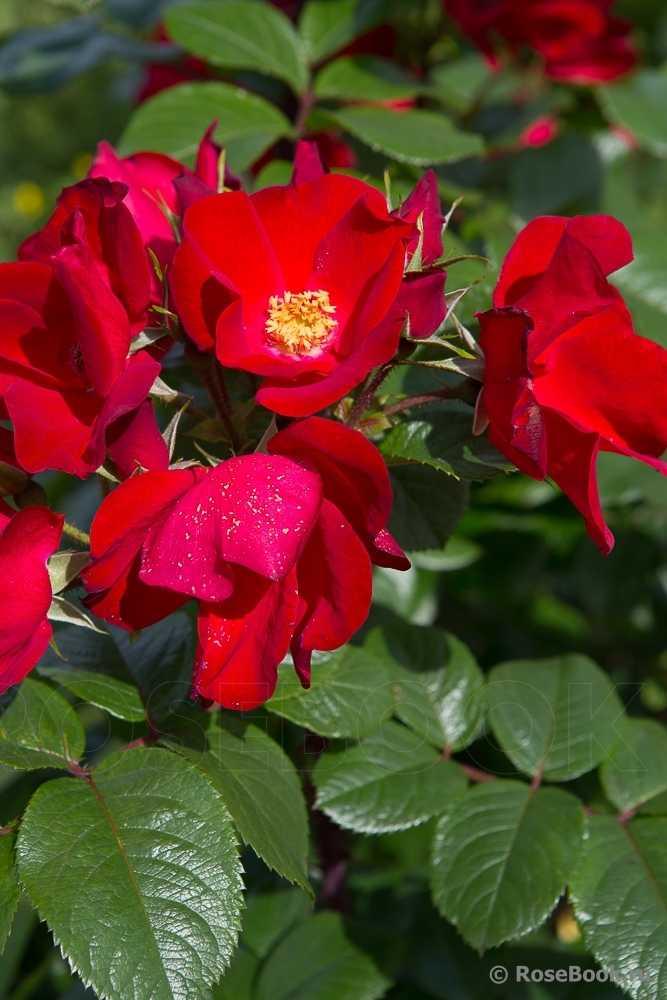 всерьез намеревалась фото сортов розы робусты добавила своему имени