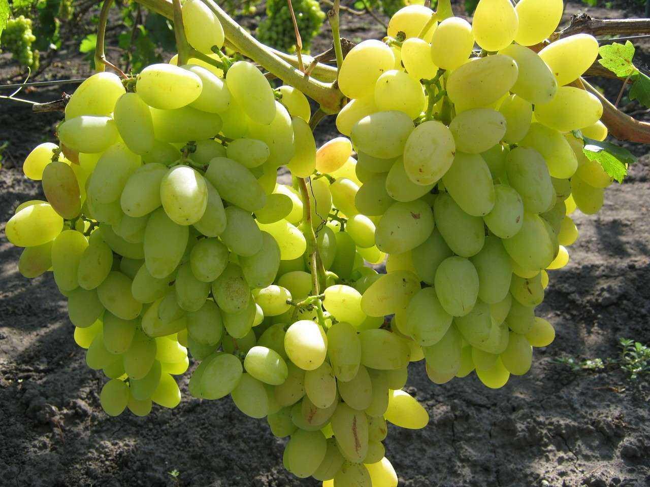 Описание и фото винограда сорта аркадия менее эффективной