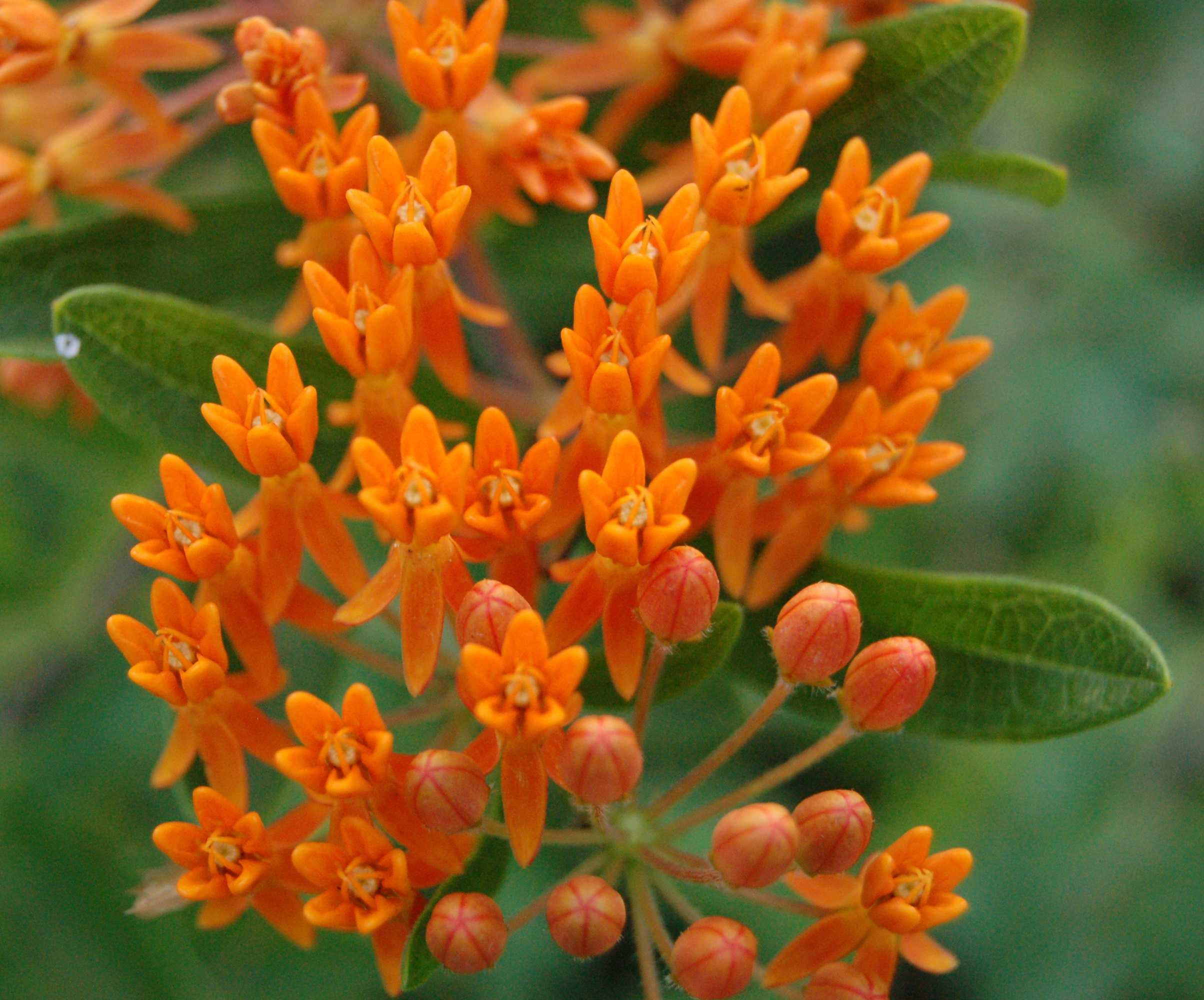 цветок ваточник фото семейного