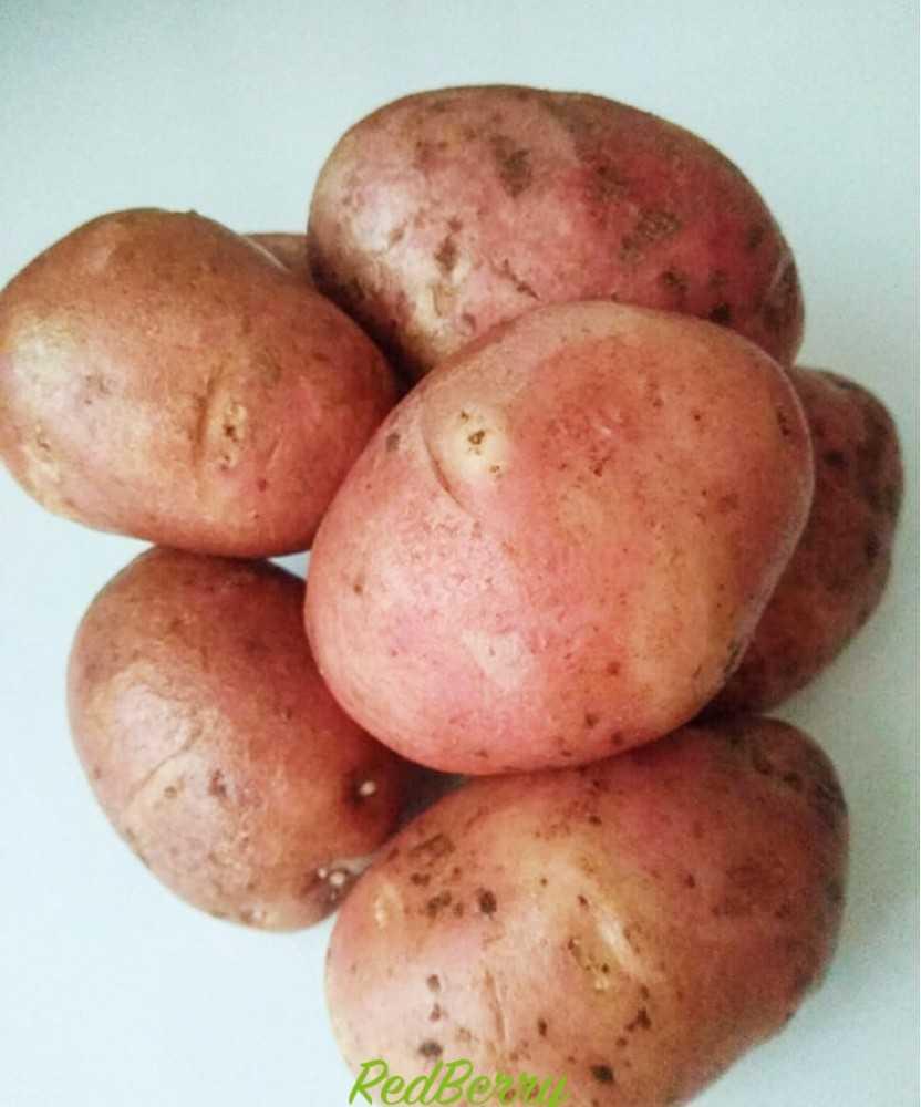 картофель фото и названия лица это