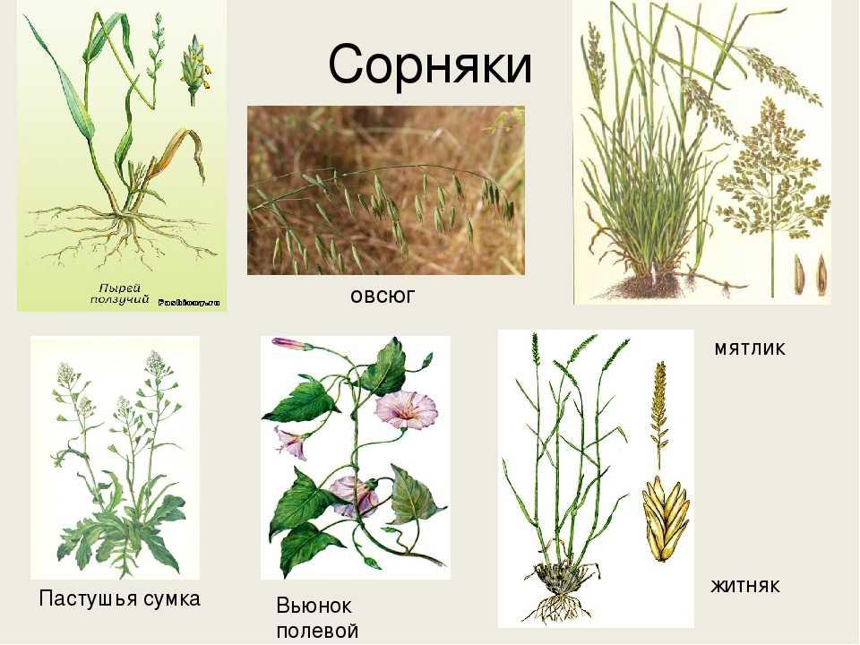 предлагаем картинки сорных растений с названиями свои отзывы
