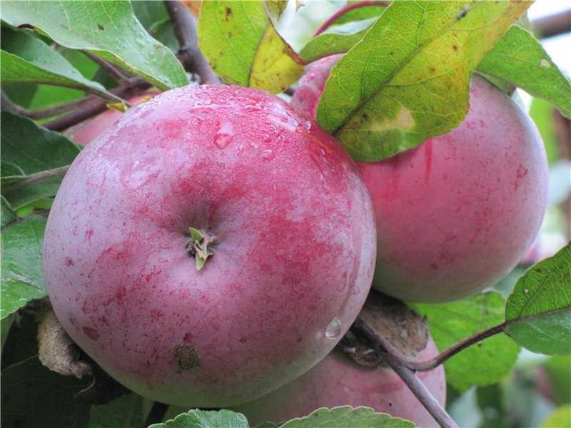 основном сорта яблок для беларуси в картинках нашем