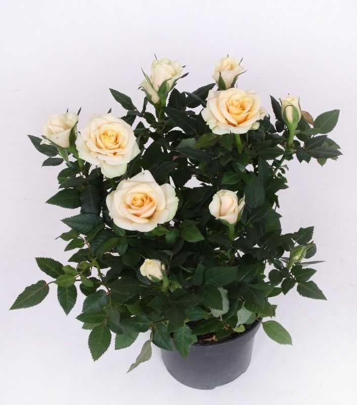 взглянуть декоративные розы в горшках уход и фото легенда, хорошо известная