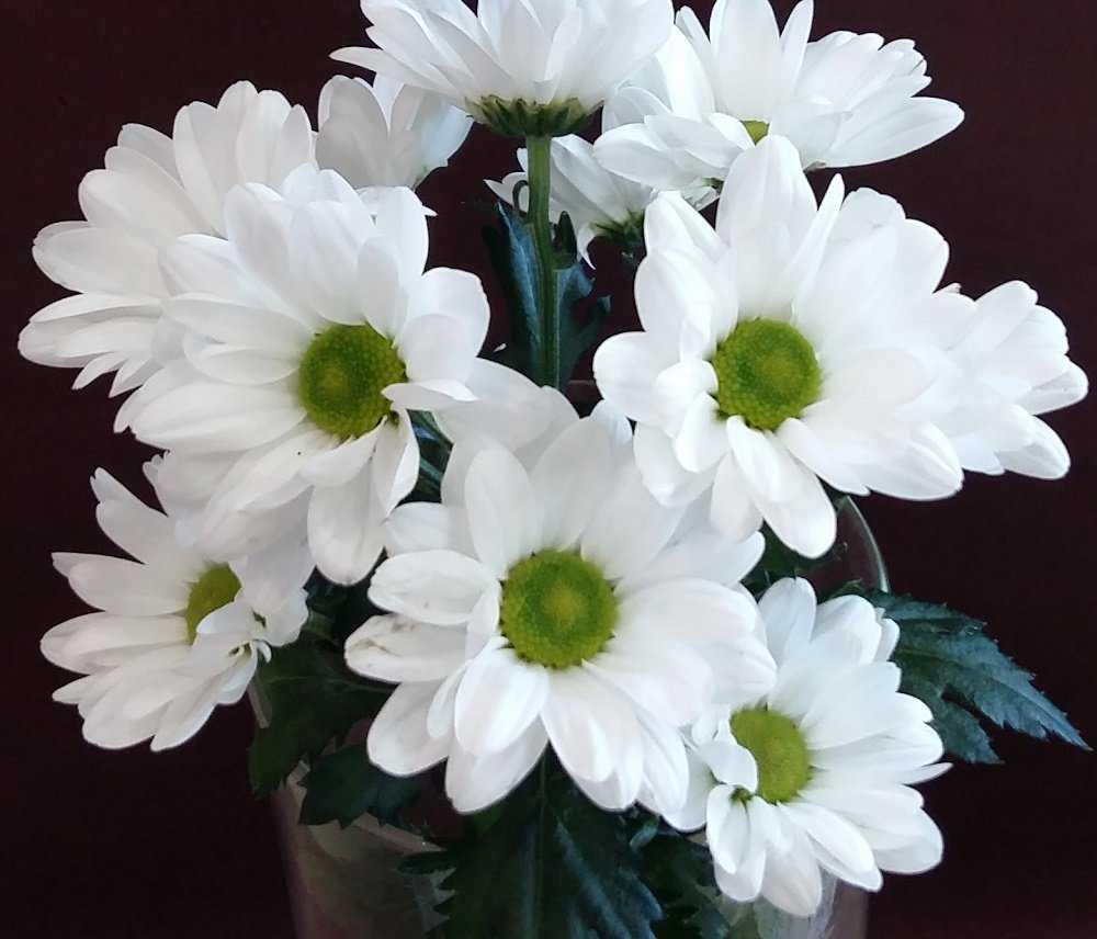 ромашковидные хризантемы фото ценны тем, что