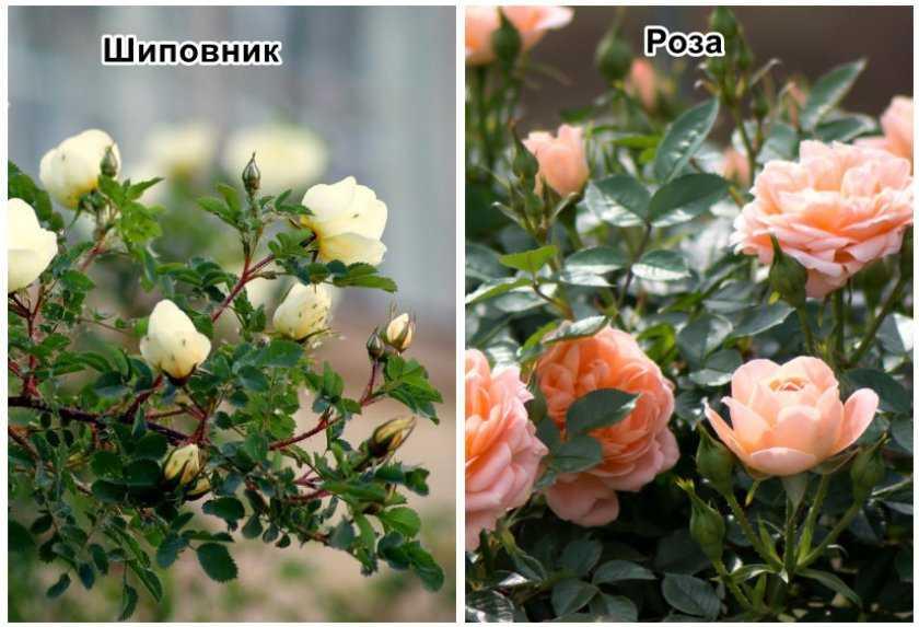 герои этого как узнать что роза стала шиповником фото также