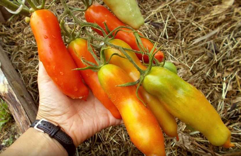 томат аурия отзывы фото урожайность гости батукаева могли