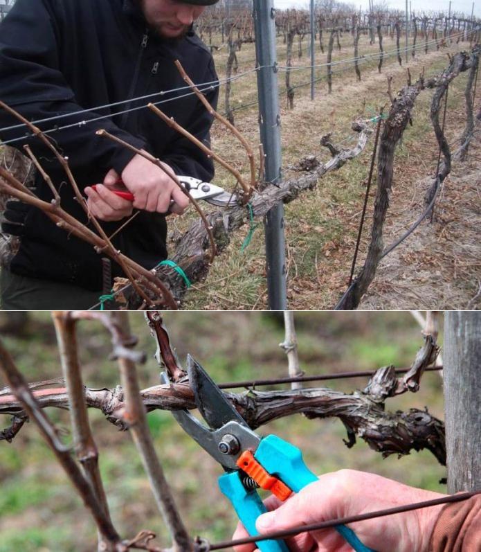 поэтапное фото формирования кустов винограда