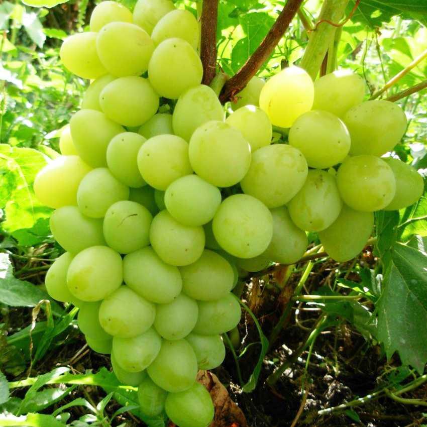Описание и фото винограда сорта аркадия это