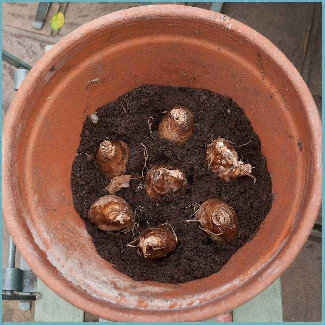 Посадка и уход за нарциссами, выращивание в открытом грунте