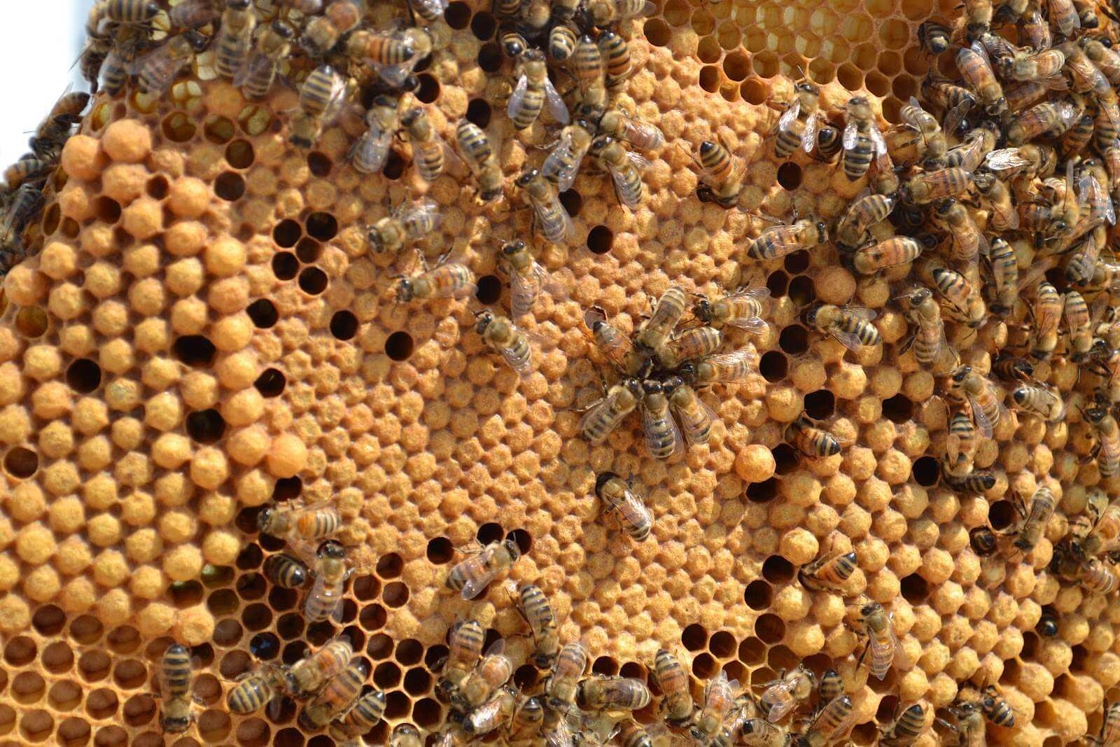 горбатый расплод у пчел фото для примера