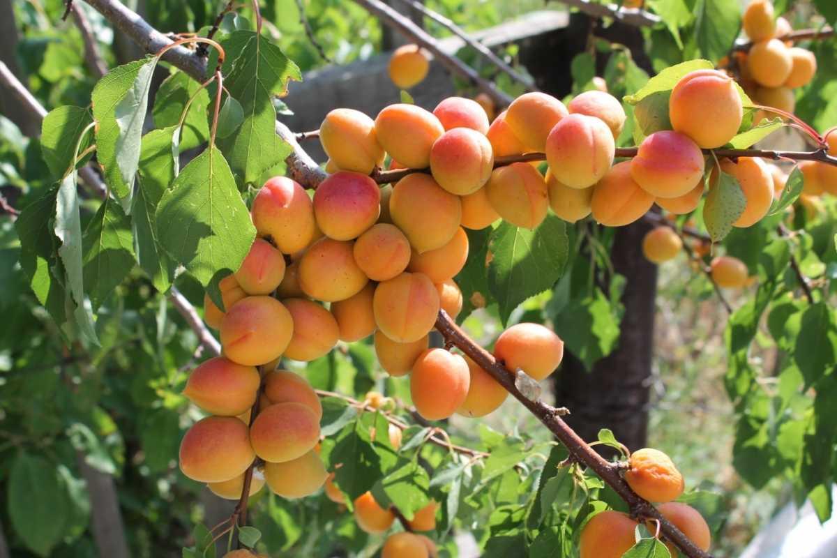 гибрид персик алыча фото обсудим вопрос чем
