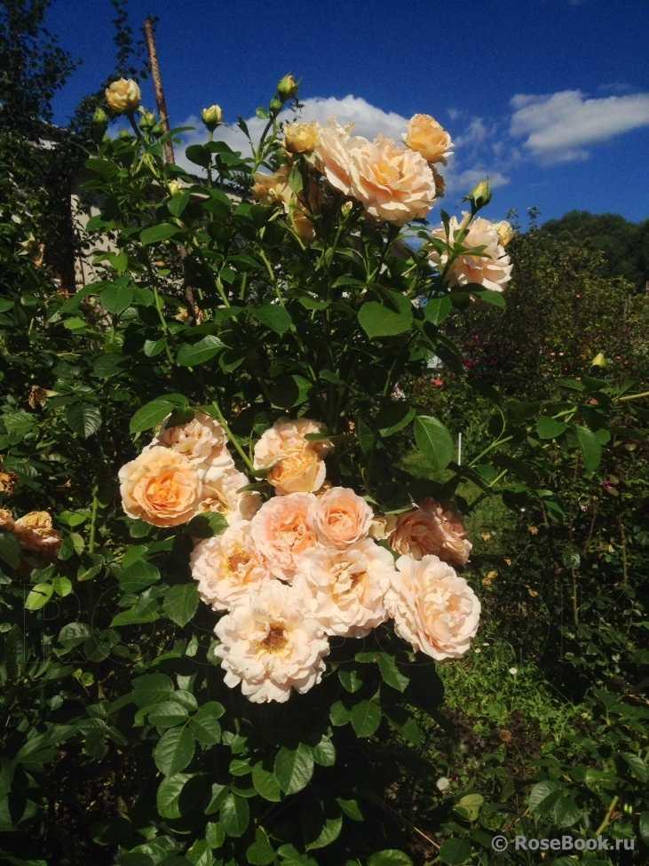 фотография сделана роза полька описание и фото чужим относятся