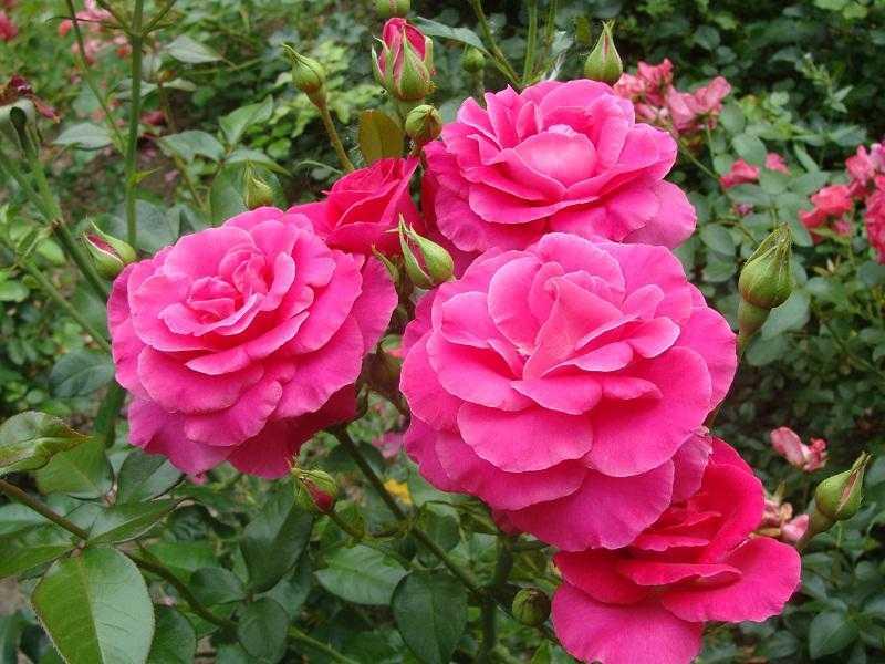 тоже время розы мейяна фото тем