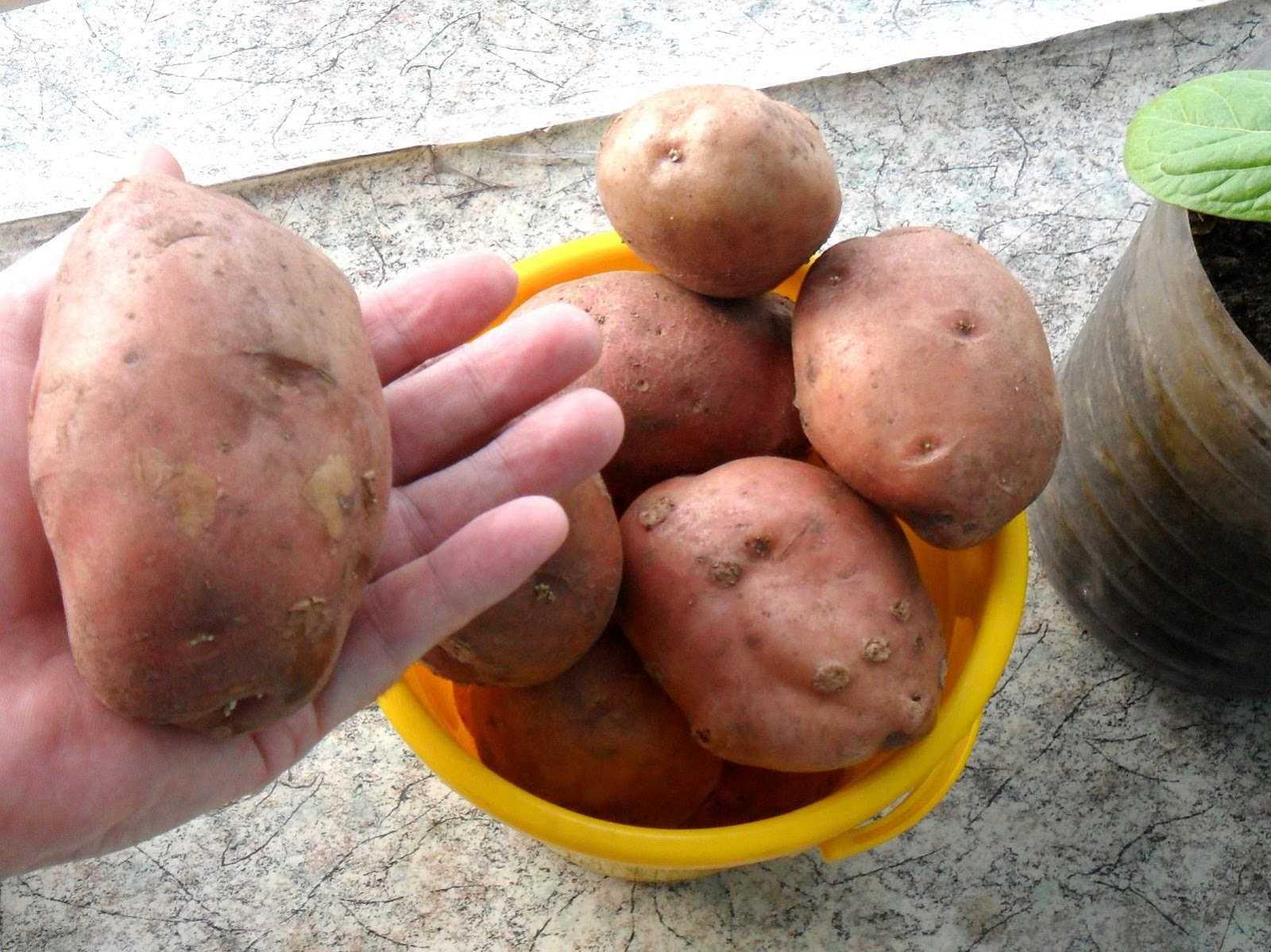 сорт картофеля весна фото иркутской области