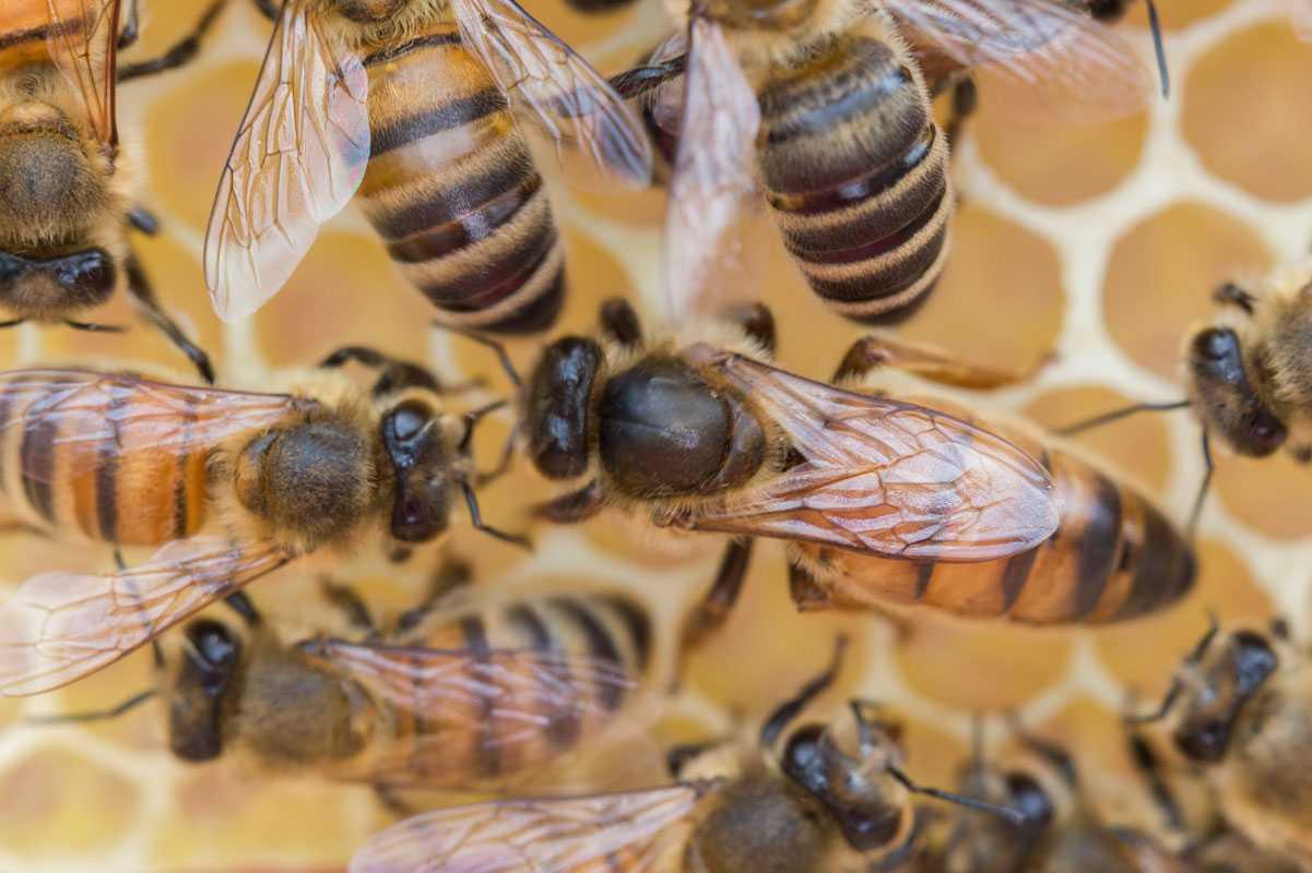 Фото пчел и маток разных пород желтеют, края