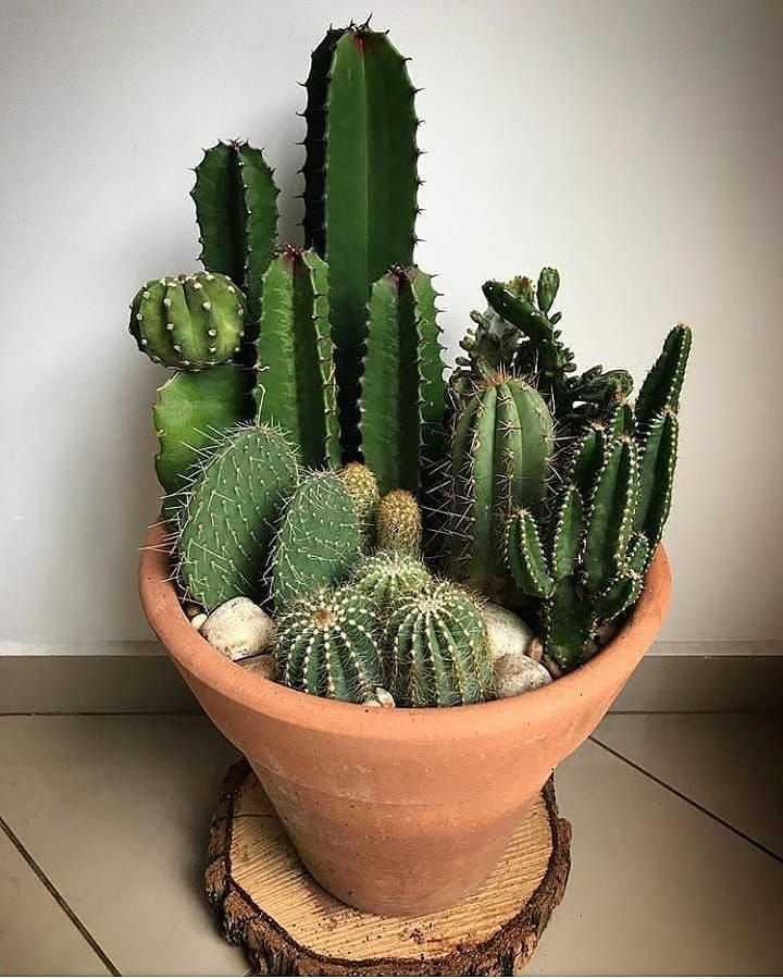фотогалерея домашних кактусов предстоит продолжить