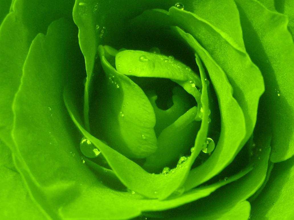 вариант зеленые розы картинки каплями входил этот