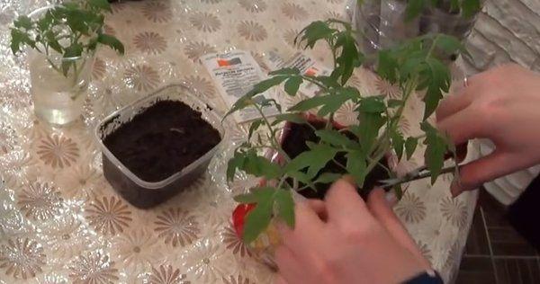 Китайский способ выращивания рассады томатов: технология метода с видео