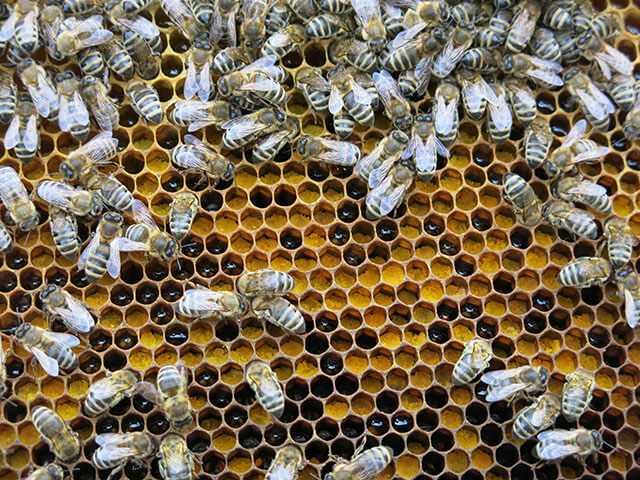 Пчелиная перга при простатите при простатите можно пить кофе