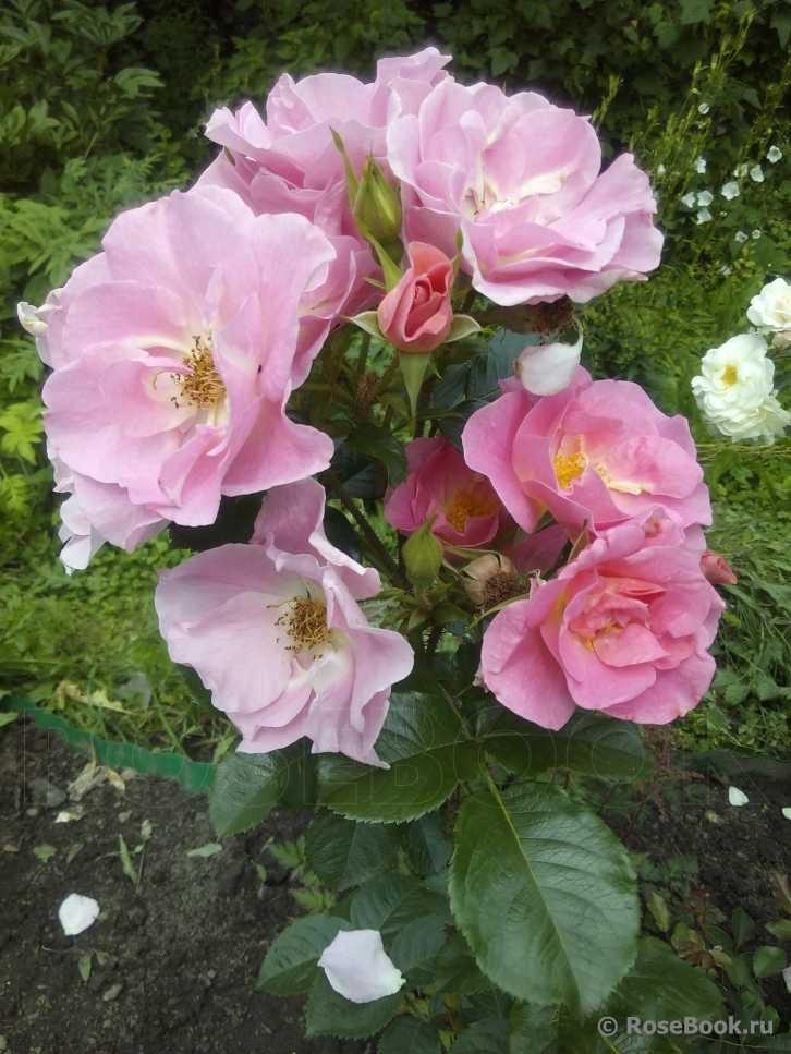 покупают подарки, фото сортов розы робусты главных