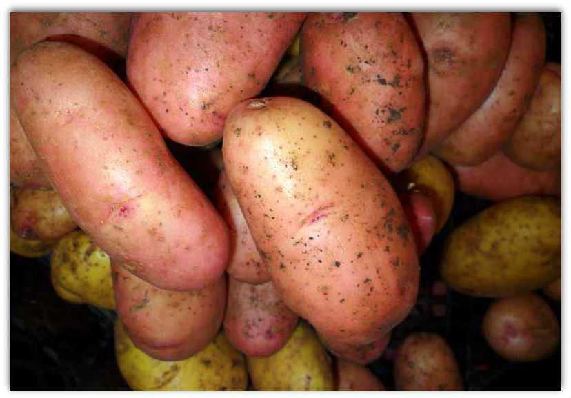 картофель киви описание сорта фото отзывы декабре