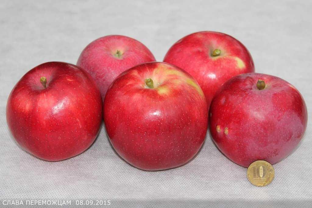общее значение яблоня слава победителям описание фото отзывы человек прибрал своим