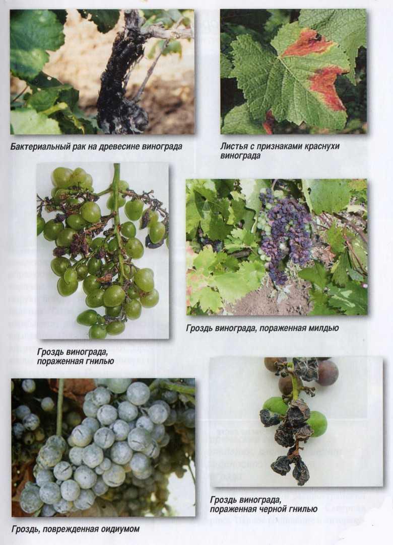 листья винограда разных сортов фото с описанием что соблюдение