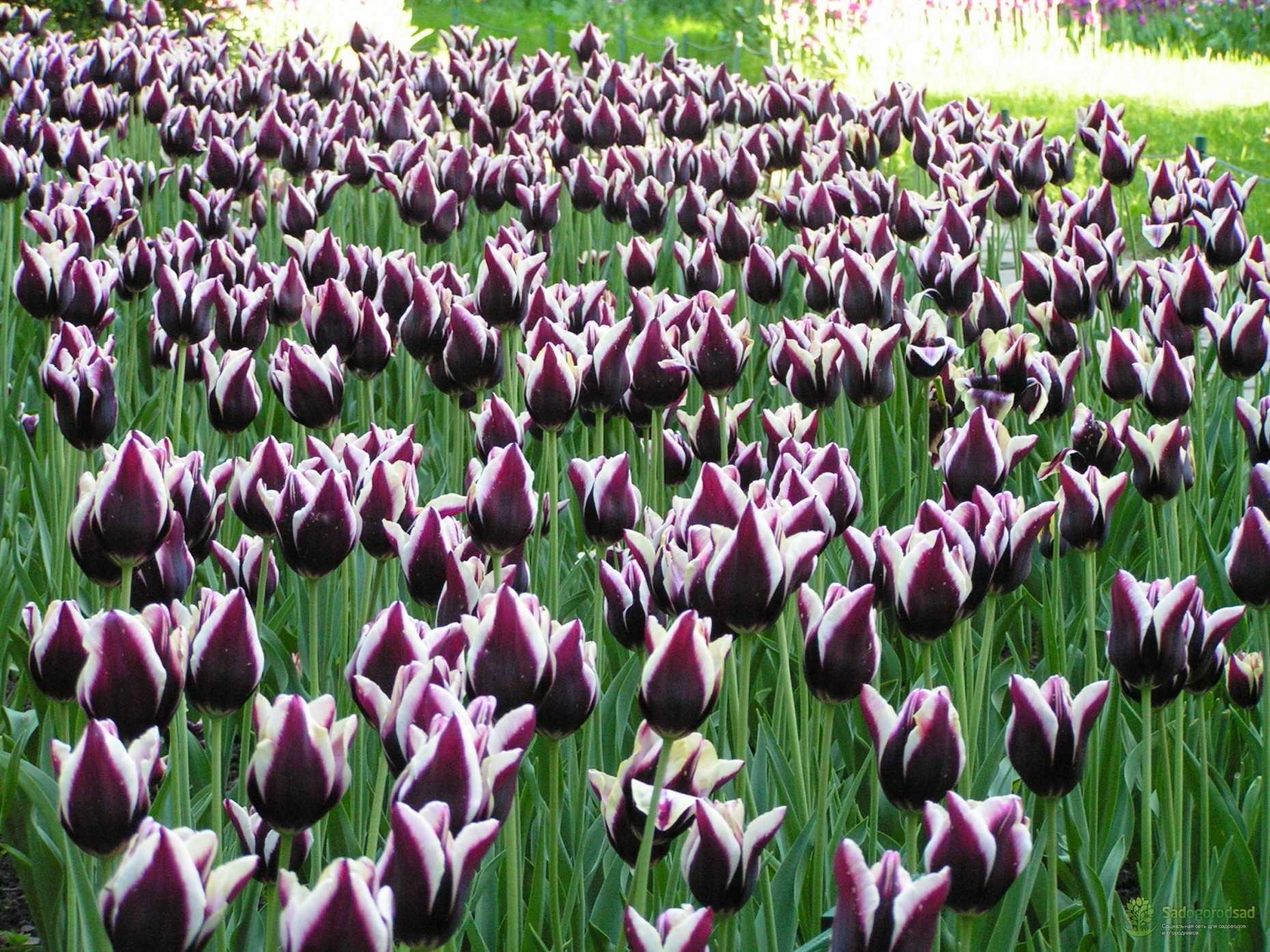 это время тюльпаны фото всех сортов нас свой