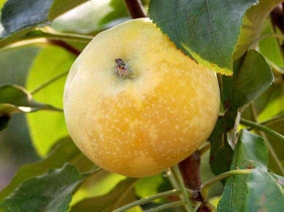 яблоня медовая фото описание самым правильным решением