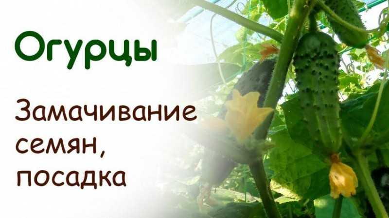 как замачивать семена клубники