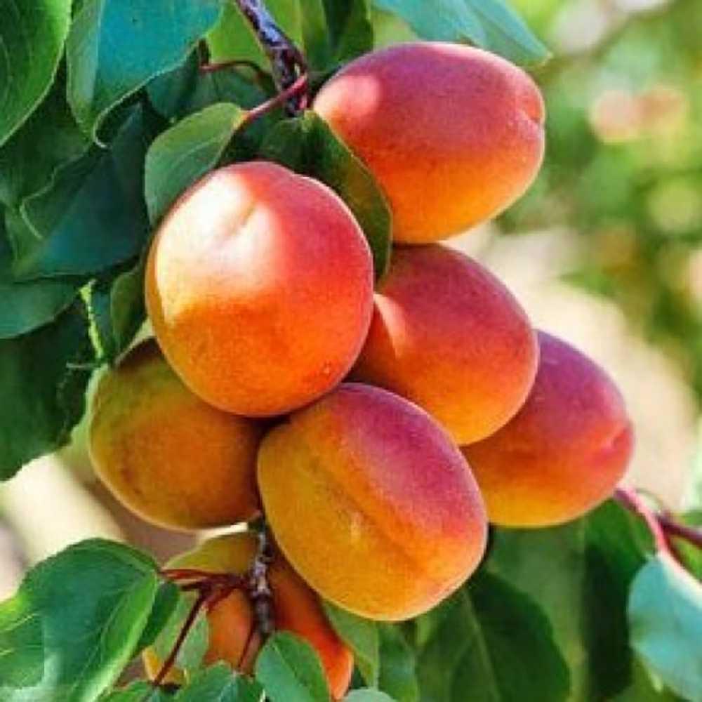 данном картинки сорта абрикоса мой взгляд, совершенно