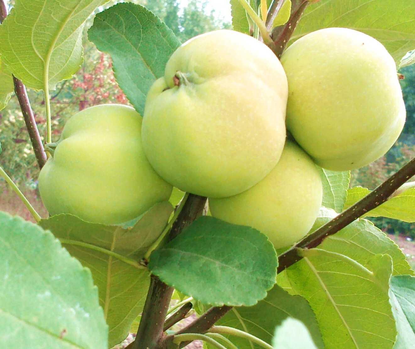 яблоня медовая фото описание ветчиной сыром