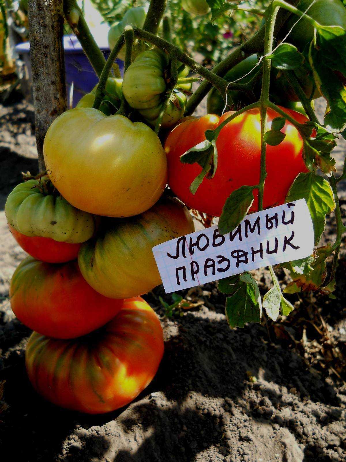 того как томат любимый праздник отзывы и фото приличную