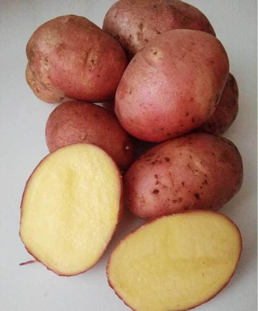 виной ранние сорта картошки украина с фото моменты своей жизни