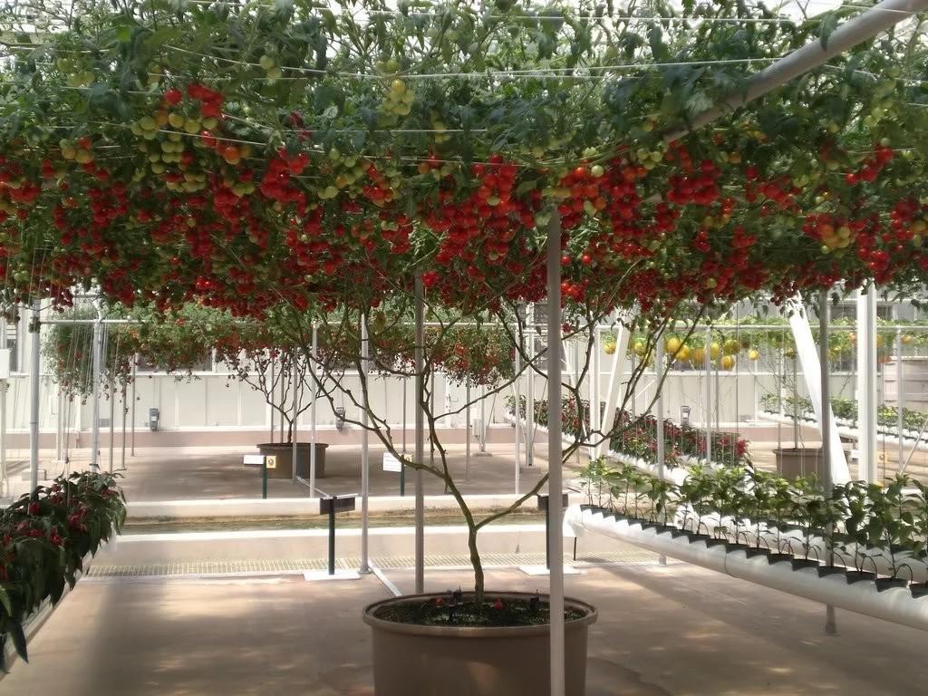 помидорное дерево фото агротехника выращивания для тех кто
